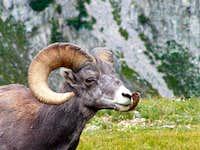Bighorn Sheep are plentiful...