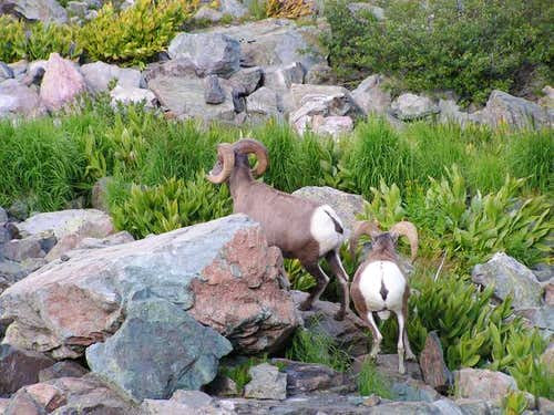 Some of the bighorn sheep...