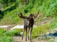 Bull moose on the way up to...