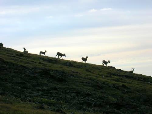 Bighorn sheep on the way to...