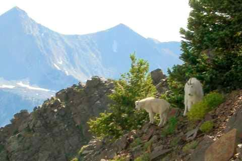 Mama and baby mountain goat...