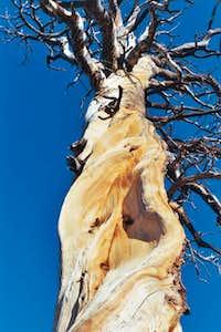 Cool tree near May Lake