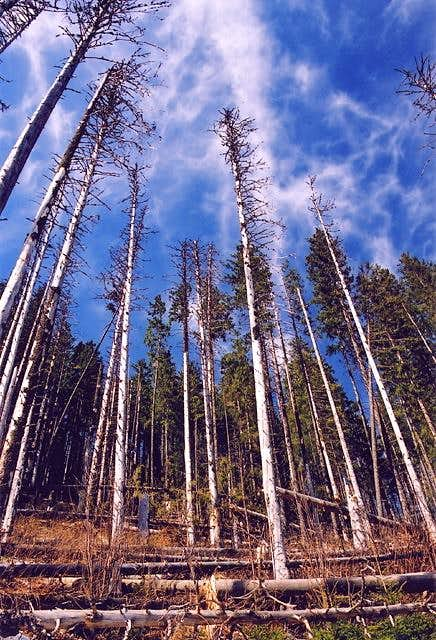 Withering spruce trees near...