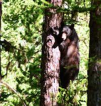 Black bear along the Big...