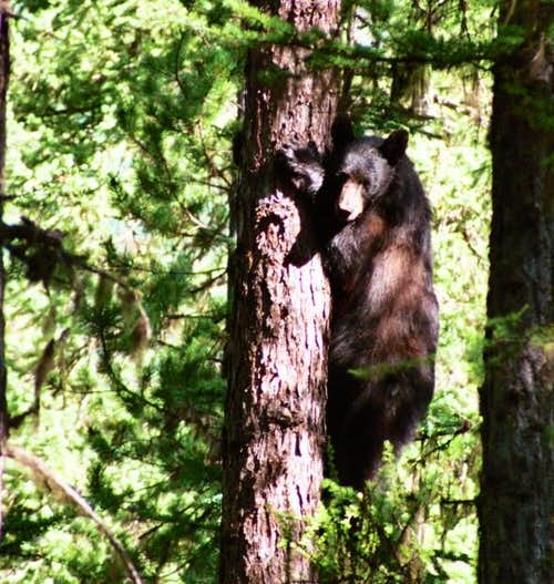 Black bear along the Big...