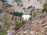Mountain Goat below the...