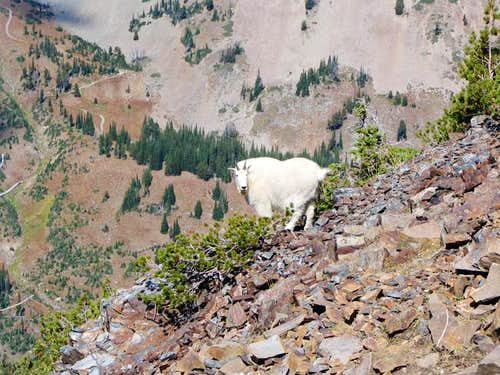 Mountain Goat below the...
