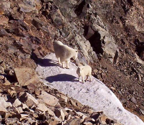 Mountain goats just off the...