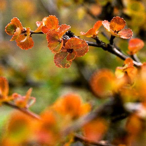 The Dwarf Birch (Betula...