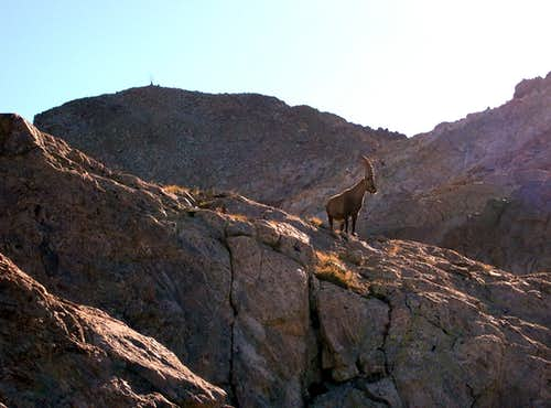 An ibex wards over against...