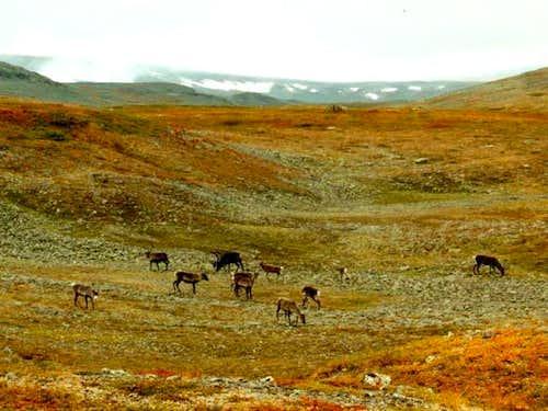 Reindeer (Rangifer tarandus),...