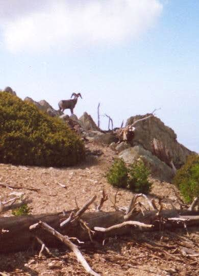 Nothing like seeing a bighorn...