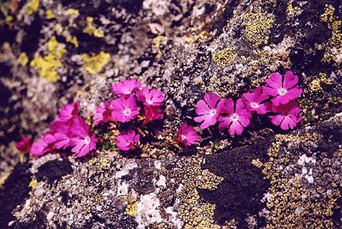Tiny rock flowers on Wielki...