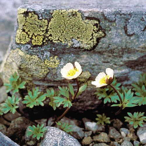 The Glacier Buttercup,...