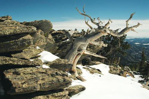 Bristlecone pine on the East...