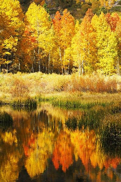 Aspens and reflections in...