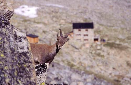 young ibex near Almageller hut