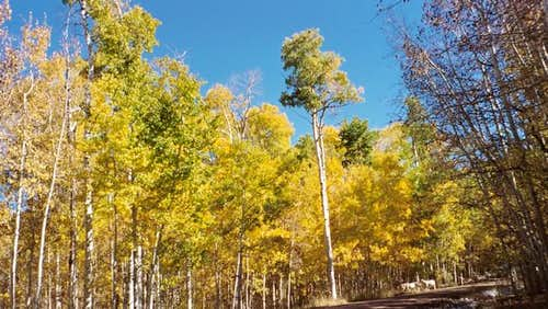 Aspens on the access road to...