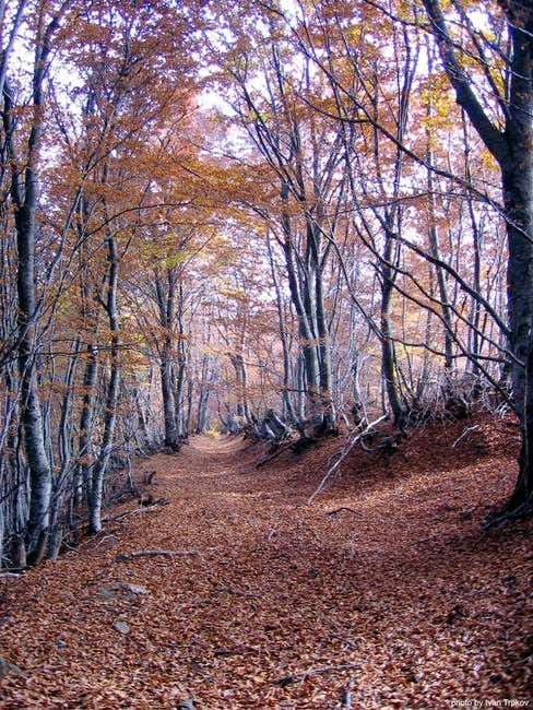 Beech forest near the peak of Skrkovo in autumn