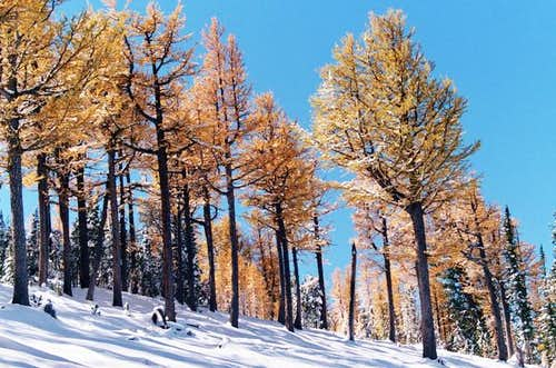 Subalpine larches color the...
