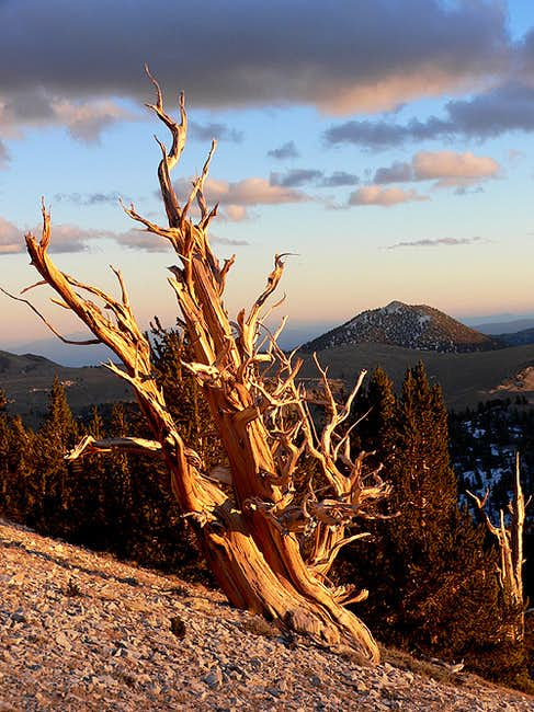 Bristlecone Pines: the world\'s oldest living thing.