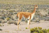 Vicuna seen from the road