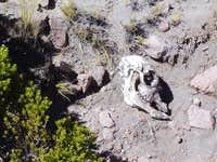 Skull of a dead vicuna,...