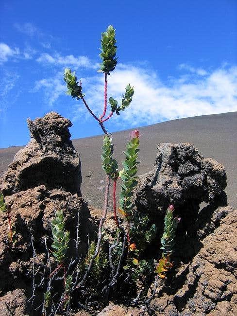 Mauna Kea Flora