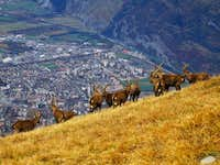 Ibexes at the summit of the...