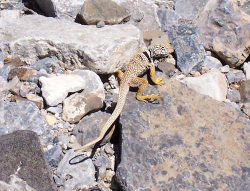The Eastern Collared Lizard...