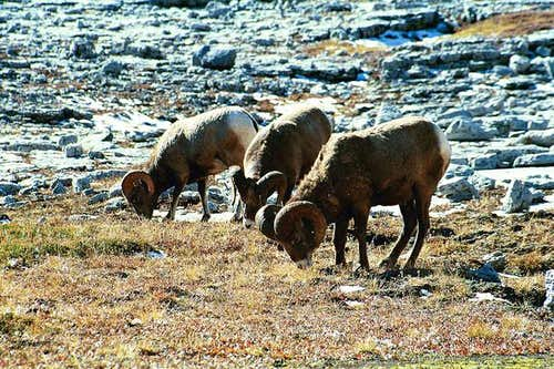 Canadian Rocky Mountain Sheep...