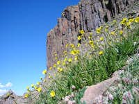 alpine avens and the organ...