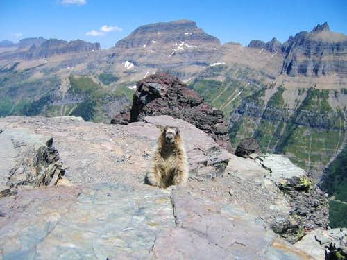 This totally adorable Marmot...