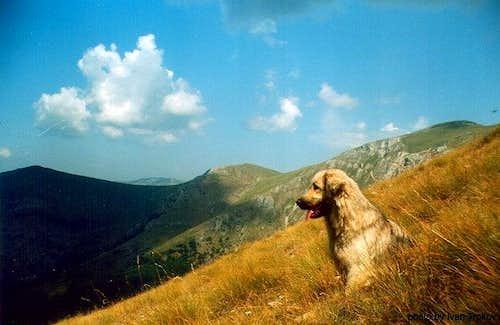 The famous shepherd dog...