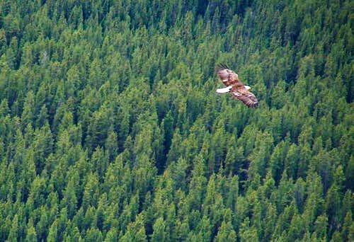 A bald eagle circling below...