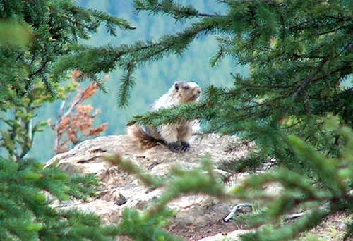 Hoary Marmot on ascent of the...