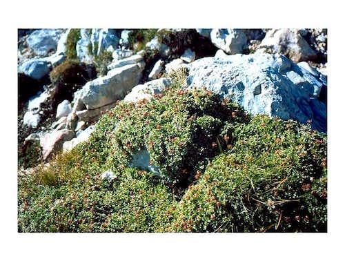 A Seekofel's plant -...