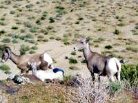 A family of Bighorn Sheep
