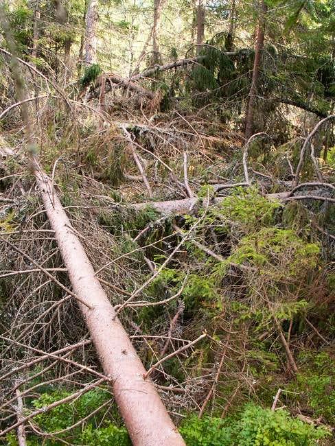 Damaged forest in Bystrá dolina