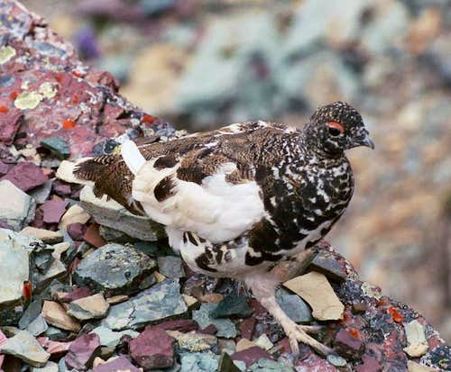 Ptarmigan near the Diaganol...