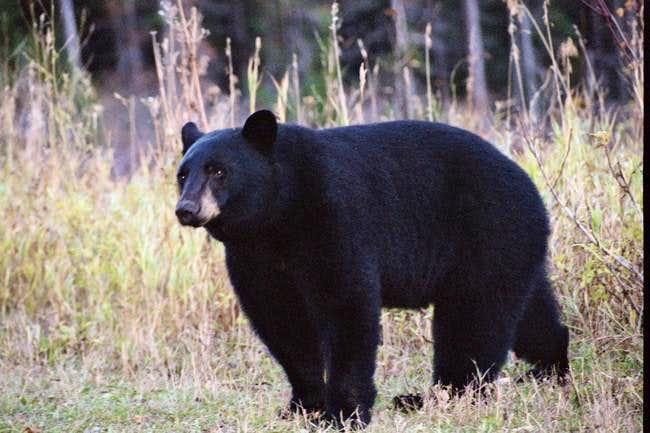 Black bear on the south side...