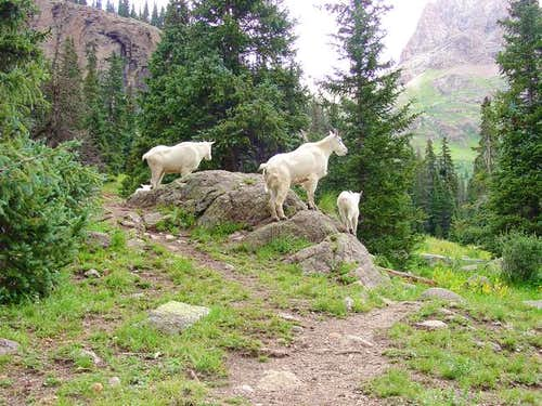 Mountain Goats posing on...