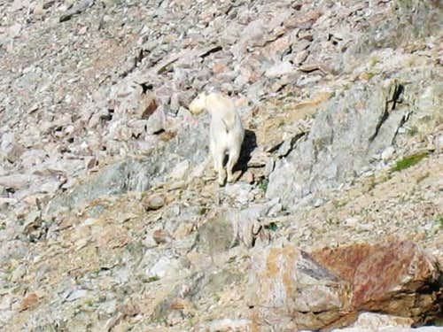 Mountain Goats are amazing...