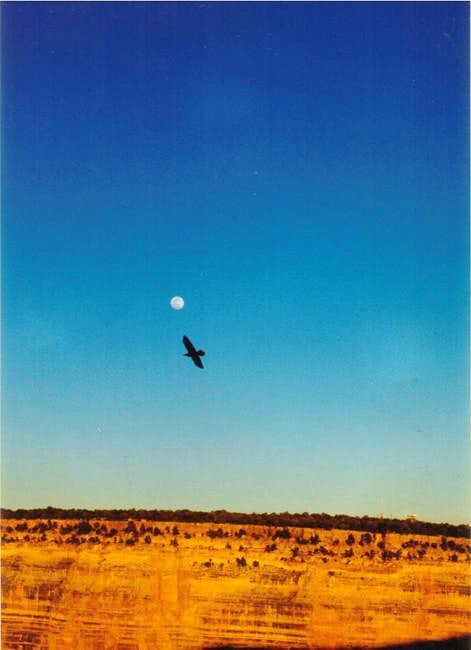 A raven soars in the thermals...