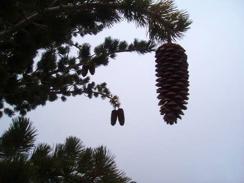 Pine Cones on the way down...