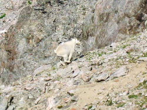 Mountain Goat Running From Me