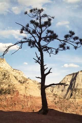 Pine on Angels Landing
