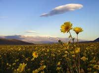 Desert Sunflower & Telescope Peak