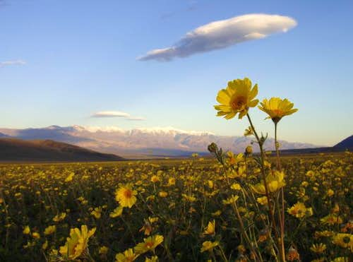 Desert Sunflower & Telescope Peak