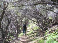 Mountain Mahogany forest and...